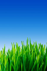 Fototapete - Green grass and blue sky