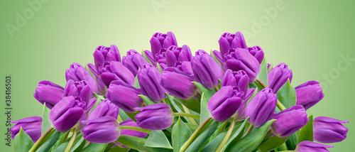 lila tulpen auf gr n stockfotos und lizenzfreie bilder auf bild 38416503. Black Bedroom Furniture Sets. Home Design Ideas