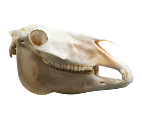 Skull of domestic horse on a white background (Equus caballus)
