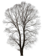 large bare tree without leaves.
