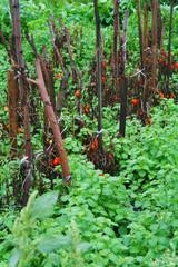 Poster de jardin Parc Naturel Tomatoes growing on a bush, Tambov region