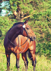 beautiful prizer Trakehner stallion