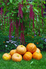 A pile of pumpkins and amaranth plant