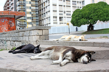 Dogs sleeping in the middle of the city in Argentina