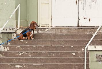 Basset Hound Dog Abandoned