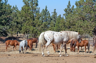 Appaloosa Horse With Herd