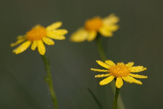 Gelbe Blüten #034610