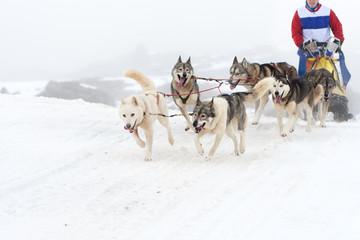 Carrera de perros de trineo