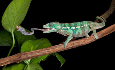 Chameleon catches cricket