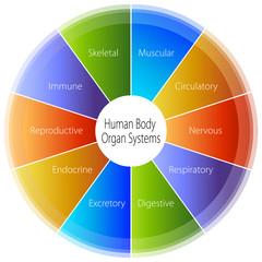 Human Body Organ Systems Chart
