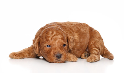 Wall Mural - Poodle pup lies on a white background.