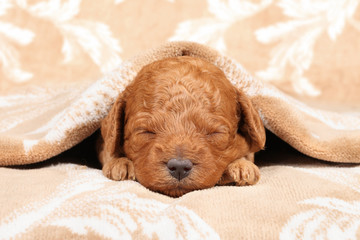 Wall Mural - Poodle puppy (second week) sleep