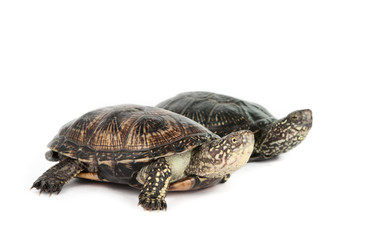 turtle isolated