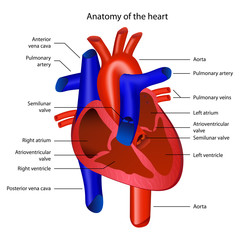 Anatomy of the heart vector illustration