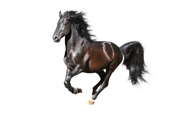 Black horse runs gallop isolated on white