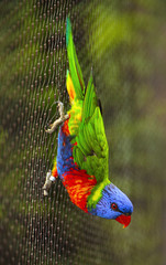 Sunset Lorikeet, a species of Australasian parrot