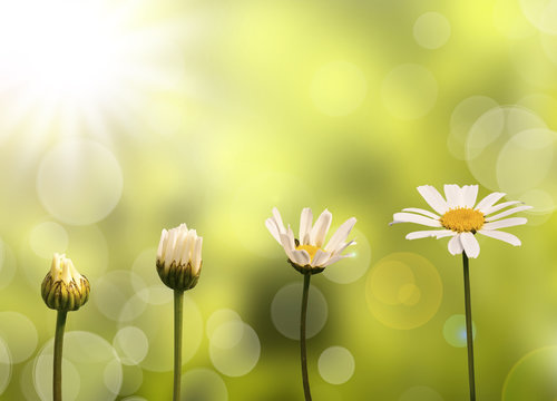 Etapes de développement et de croissance d'une pâquerette, fond vert et soleil