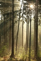 Keuken foto achterwand Bos in mist Rising sun enters the coniferous forest on a foggy day