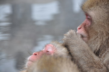 Snow Monkey of Japan