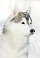 Siberian husky dog portrait at winter