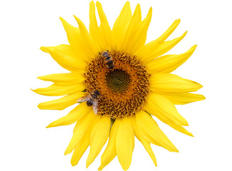 Two bees collect pollen from a sunflower