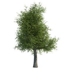Oak Tree CG