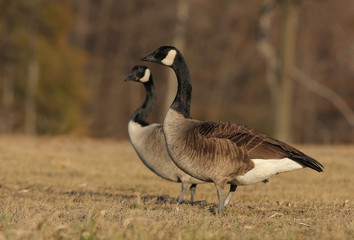 Canada goose Branta Canadensis in winter