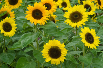 A field of sun flowers