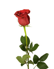 beautiful single rose on a white background