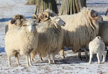 Walachenschafe mit Lamm