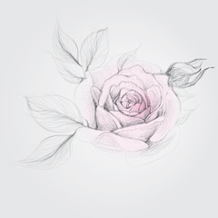 ROSE / Realistic Vector Sketch of flower