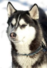 Photo beautiful adult dog, the Siberian Husky