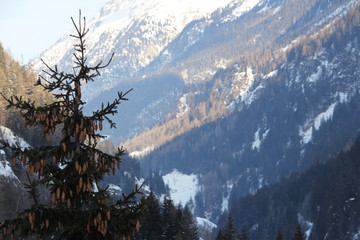 Fototapete - Fir-tree in winter mountains