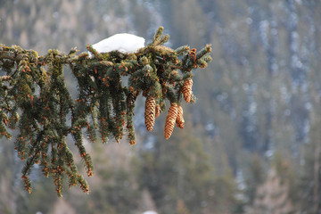 Fototapete - Fir-tree branch