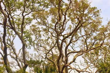 Massive Oak Limbs Against Sky