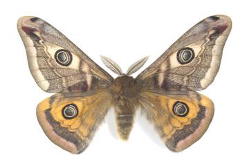 Small emperor moth, saturnia pavonia isolated