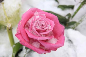 Vivid pink rose on snow