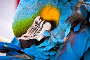 scarlet macaws, parrot
