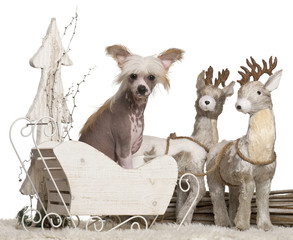 Chinese Crested Dog puppy, 4 months old, in Christmas sleigh