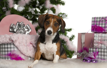 Beagle, 2 years old, with Christmas tree and gifts