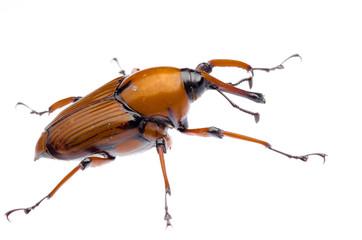 palm weevil snout beetle