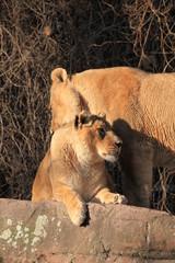 Löwin in Nahaufnahme