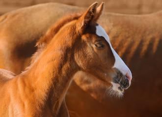 Fotoväggar - Portrait of sorrel foal