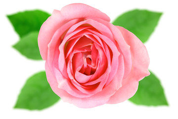 Single pink flower of rose