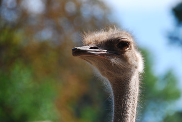 A head of an ostrich in the sunlight