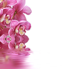 Orchideen, Cymbidium, Wellness