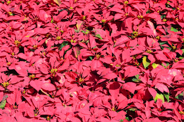 Background of red poinsettia christmas flower