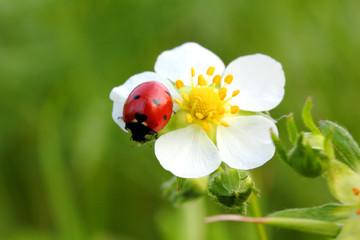 Photo sur Aluminium Coccinelles ladybug on white flower macro