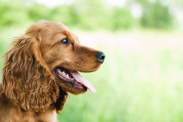 portrait Cocker Spaniel