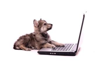 liegender Wolfshund Welpe schaut auf Bildschirm